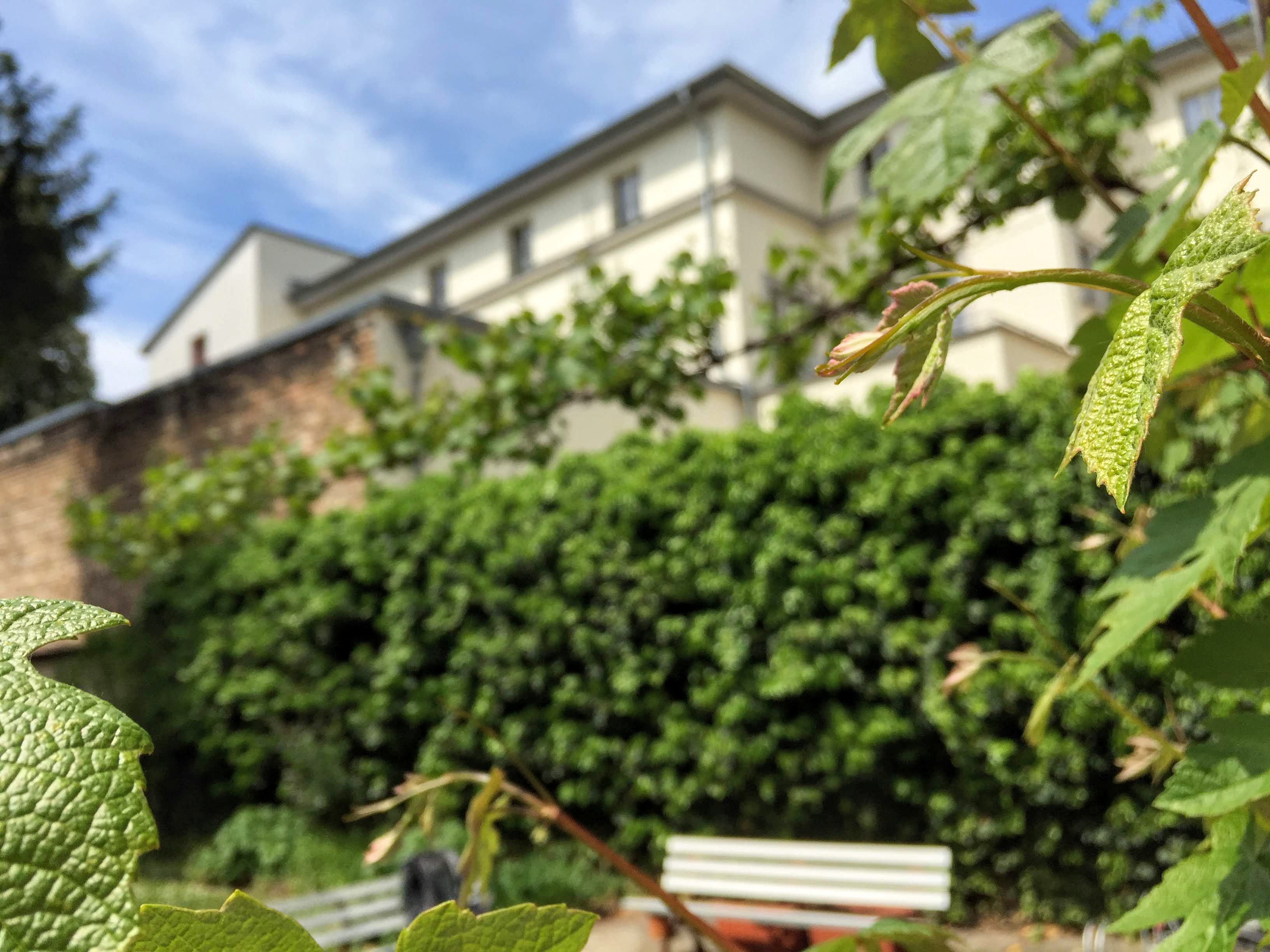 Weintrauben im Innenhof der LKG